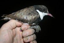 Red-kneed Dotterel just prior to release (c) 2013 Jon Coleman