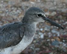 Grey-tailed Tattler - Winter Plumage (c) Jon Coleman 2014