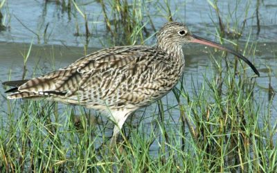 Far-Eastern Curlew and Whimbrel tracking