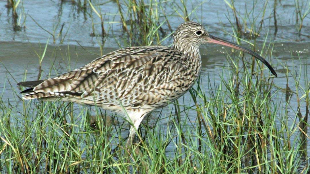 Far_Eastern_Curlew_cairns_Hyash-Haka-carolina-birds-org
